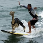 surfing alpaca in peru